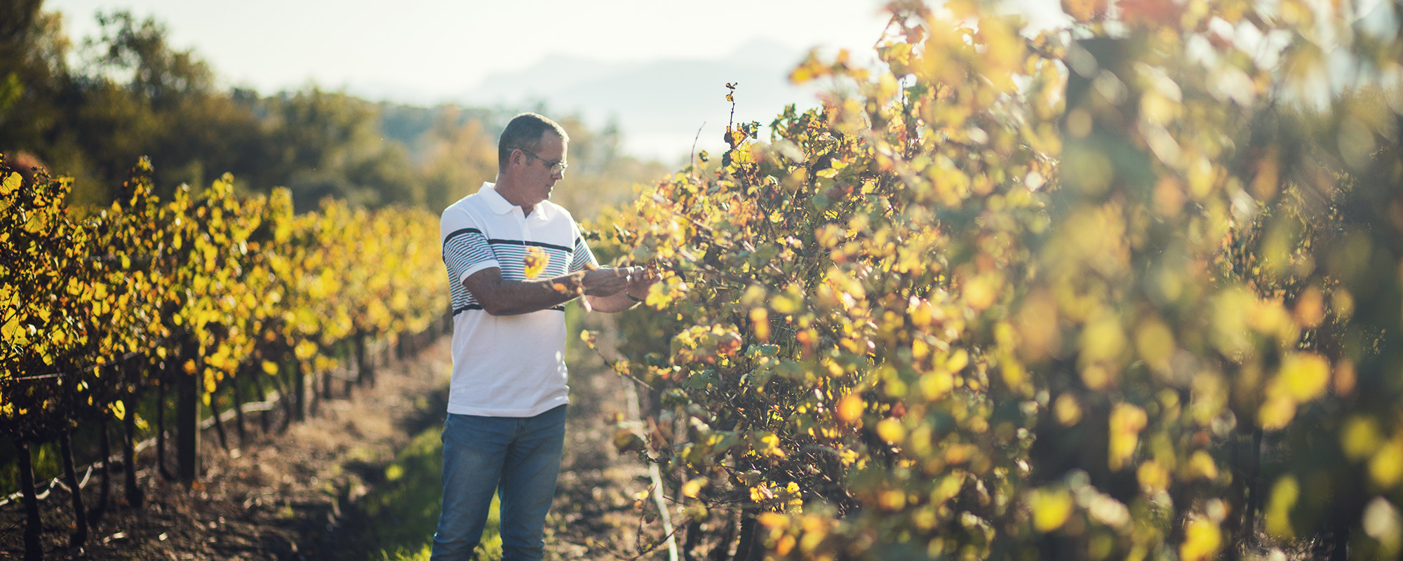 Niel Bester inspecting grapes in the vineyards of Plaisir de Merle
